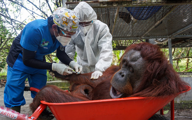 A handout photo made available by Borneo Orangutan Survival Foundation (BOSF) shows veterinarian wearing protective masks and suit, conducting anesthesia procedure on Nenuah, a nine year old Bornean Orangutan before being transported and released to the Bukit Batikap protection forest, at the Nyaru Menteng Orangutan Rehabilitation Center in Palangkaraya, Central Kalimantan, Indonesia, 15 February 2021. BOSF and the national nature conservation agency (BKSDA) released 10 orangutans back to the wild in Bukit Batikap Protection Forest in Central Kalimantan and the Kehje Sewen Forest in East Kalimantan amid the pandemic according to BOSF. (Photo by BOSF Handout/EPA/EFE)