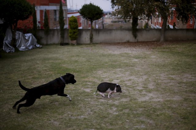 Goyo, an eight-month-old mini pig, runs as a dog chases him in Mexico City, December 21, 2015. (Photo by Edgard Garrido/Reuters)