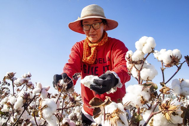 A cotton picker works in the field in Hami in northwest China's Xinjiang region Friday, October 09, 2020. H&M products were missing from major e-commerce platforms including Alibaba and JD.com following calls by state media for a boycott over the Swedish retailer's decision to stop buying cotton from Xinjiang. (Photo by Chinatopix via AP Photo)