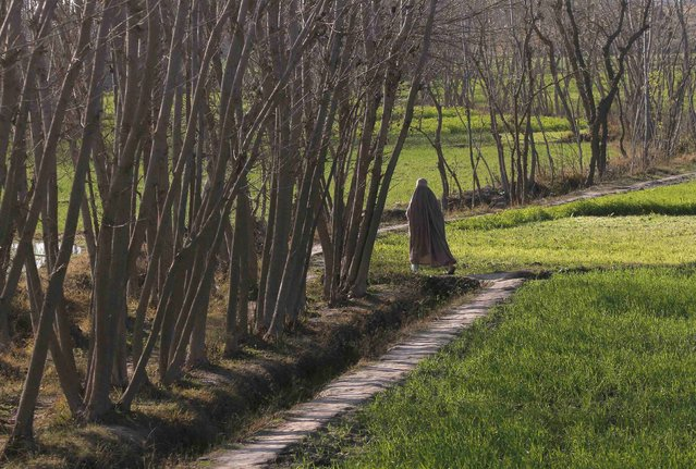 A burqa-clad woman walks past a row of trees while heading home in Charsadda, near Peshawar January 27, 2015. (Photo by Fayaz Aziz/Reuters)
