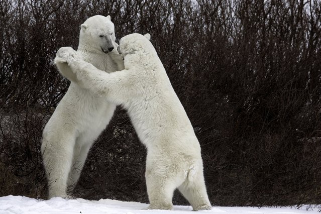 A polar bear tries to remain patient while teaching its pal some basic dance moves. (Photo by Luca Venturi/Barcroft Images/Comedy Wildlife Photography Awards)