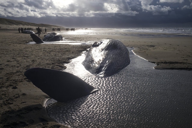 Dead sperm whales are seen washed up on a beach on Texel Island, The Netherlands, January 13, 2016. The five sperm whales that beached on the Dutch lsland of Texel on Tuesday have died overnight, Dutch media reported. It is extremely unusual for so many whales to be in Dutch waters, a spokesman for the Ecomare marine centre told local paper Noordhollands Dagblad. (Photo by Cris Toala Olivares/Reuters)