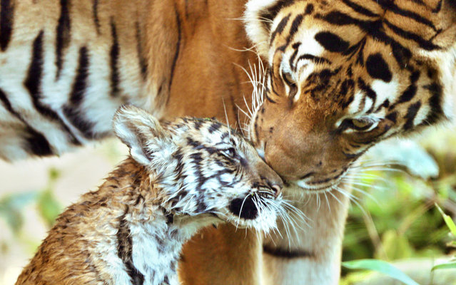 """Female tiger cub Sahaja (L) enjoys the cuddling of her mother Cindy in their enclosure at the Zoo in Halle/Saale in eastern Germany on October 1, 2013. The tiger cub was born June 21, 2013 and named Sahaja , """"The only one"""" since her two siblings died after birth. (Photo by  Jan Woitas/AFP Photo/DPA)"""