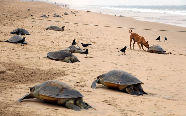 This photograph taken on January 20, 2016, shows the carcasses of dead olive ridley sea turtles on the beach near Pantha Niwas in Puri, some 65 kilometers from Bhubaneswar. The carcasses of over 150 olive ridley turtles washed ashore and were recovered on January 20 by Indian government environmental officials. The coast of Indias Odisha state is the worlds largest nesting site for the turtles, which are listed as a vulnerable species. (Photo by AFP Photo/Stringer)