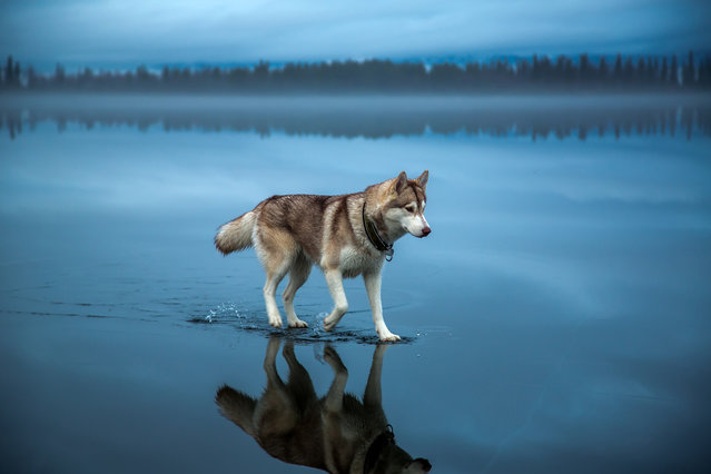 This graceful husky appears to be smarter than your average dog having apparently mastered the art of walking on water. The soft-footed canine was photographed while making its way across a lake in northern Russia. Photographer Fox Grom captured a remarkable set of images after heavy rain fell on a frozen lake to create the amazing illusion. Here: Husky dog Alaska walks on water in Northern Russia, January 2015. (Photo by Fox Grom/Visual Press Agency)