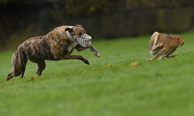 A greyhound chases a hare during a hare coursing meeting in Abbeyfeale, Ireland on December 28, 2018. (Photo by Clodagh Kilcoyne/Reuters)