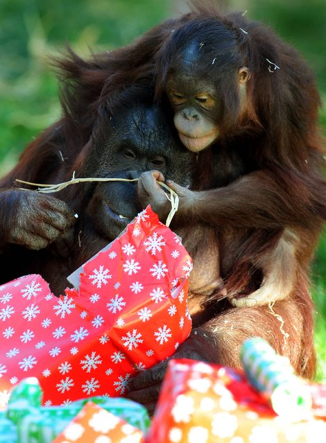 Gorilla Oala and its baby Lope with Christmas presents at Twycross Zoo, Leicestershire, on December 19, 2013. (Photo by Rui Vieira/PA Wire)