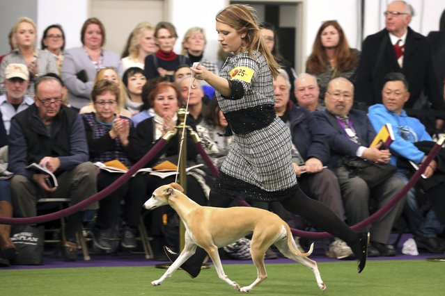 Cheslie Pickett Smithey, runs with her Whippet named Bourbon, as they compete in the Best of Breed event at the Westminster Kennel Club dog show on Monday, February 11, 2019, in New York. A top-winning whippet is out of Westminster, knocked off by, of all dogs, his own sister. Whiskey had won the big National Dog Show televised on Thanksgiving Day and the AKC event shown on New Year's Day. But his bid for a Triple Crown of dogdom ended when he was topped by littermate Bourbon in the breed judging this afternoon. (Photo by Wong Maye-E/AP Photo)