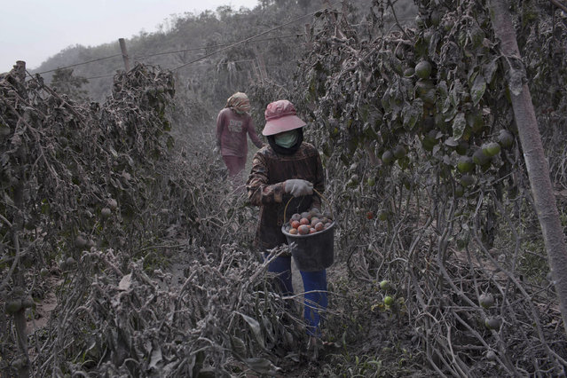 Villagers harvest tomatoes at their fields covered by ash following a further eruption of the Mount Sinabung on January 6, 2014 in Karo District, North Sumatra, Indonesia. (Photo by Ulet Ifansasti/Getty Images)