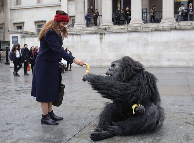A performer in a gorilla suit in Trafalgar Square interacts with members of the public during a promotion by the Uganda Tourism Board in London, England on February 2, 2017. (Photo by Yui Mok/PA Wire)
