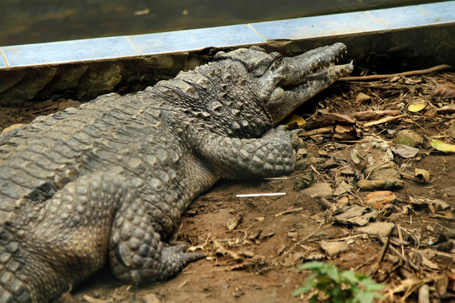 A West African Slender-snouted Crocodile (Mecistops cataphractus) is pictured in its enclosure at the zoo of Abidjan, Ivory Coast September 9, 2016. (Photo by Luc Gnago/Reuters)