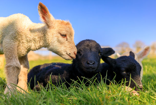 One day old baby lambs born at Bocketts Farm, Surrey, UK pictured  on April 15, 2019 against the blue sky, enjoying the sunshine which is set to continue this week. (Photo Oliver Dixon/Shutterstock)