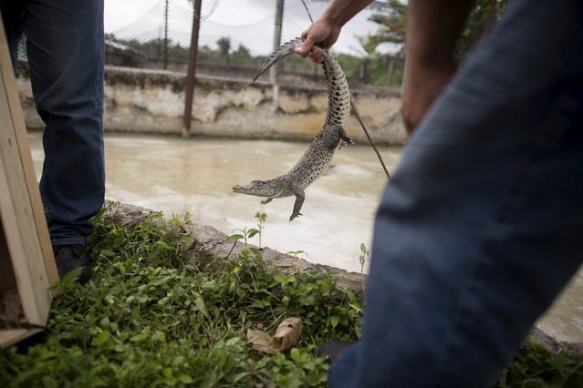 A baby Cuban crocodile (Crocodylus rhombifer) which just arrived from Havana National Zoo is placed in an enclosure at Zapata Swamp National Park, June 4, 2015. Ten baby crocodiles have been delivered to a Cuban hatchery in hopes of strengthening the species and extending the bloodlines of a pair of Cuban crocodiles that former President Fidel Castro had given to a Soviet cosmonaut as a gift in the 1970s. Picture taken June 4, 2015. REUTERS/Alexandre Meneghini