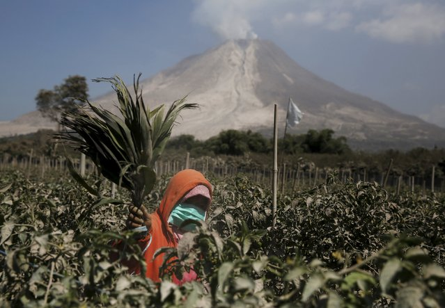 A woman removes ash from her tomato trees after Mount Sinabung volcano spew ash at Kuta Tengah village in Karo Regency, North Sumatra province, Indonesia, June 30, 2015. More than 10,000 people from 12 villages, who are living around the slopes of Mount Sinabung, left their homes and moved to refugee camps, local media reported. (Photo by Reuters/Beawiharta)