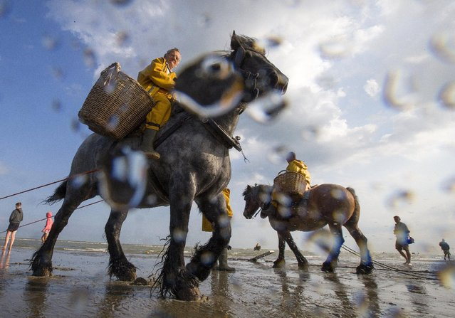 Belgian shrimp fishermen ride carthorses to haul nets out in the sea to catch shrimps during low tide at the coastal town of Oostduinkerke, Belgium July 3, 2015. At the end of each fishing session, the fishermen and their mounts leave the water to empty the net's contents into two wicker baskets fixed on each side of the horse. (Photo by Yves Herman/Reuters)