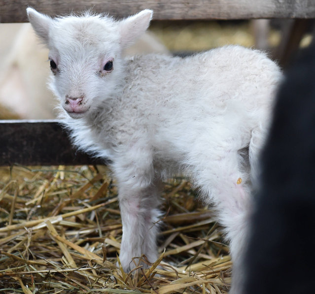 A few days young sheep, a so called Easter lamb, stands in a stable of a farmstead near the small Bavarian village of Puchheim close to Munich, southern Germany, on April 12, 2017. (Photo by Christof Stache/AFP Photo)