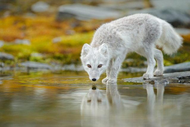 """GDT Naturfotograf 2014 – """"Die besten Naturfotografien des Jahres"""". Radomir Jakubowski – Spieglein Spieglein. 2nd place: Mammals. (Photo by Radomir Jakubowski)"""