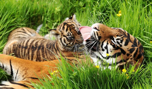 Surya licks her one of Sumatran tiger cubs Mentari and Kuasa, who are in the grass for the first time in their enclosure, at Flamingo Land, Malton, North Yorkshire, on May 21, 2014. (Photo by Lynne Cameron/PA Wire)