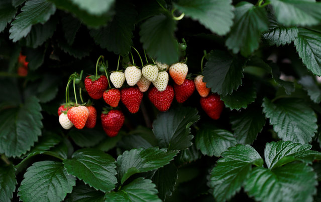 Strawberries are displayed at the Royal Horticultural Society's Chelsea Flower show in London, Britain, May 22, 2017. (Photo by Dylan Martinez/Reuters)