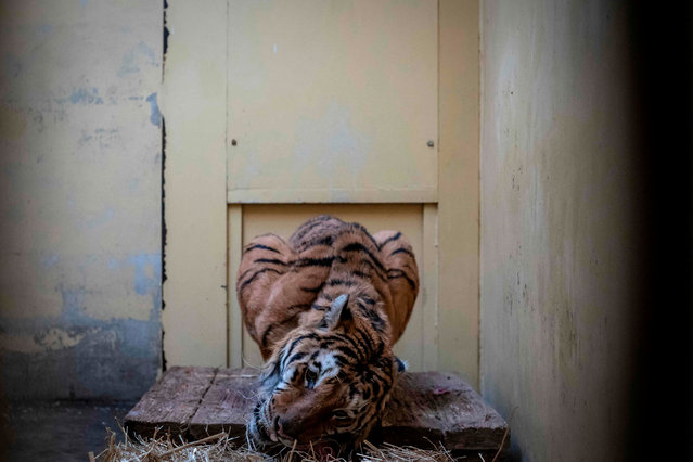 Male tiger Gogh – one of the tigers that were seized on the Polish-Belarusian border – is seen in his temporary enclosure at the zoo in Poznan, Poland, on November 6, 2019. Nine tigers on a transport from Italy to Russia were discovered in terrible conditions and were brought to the Poznan zoo after customs intercepted and zoo employees and wildlife activists rescued them. (Photo by Wojtek Radwanski/AFP Photo)