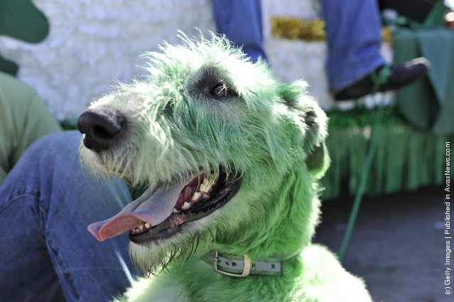 Chamrock (cq), an Irish wolfhound, sports a green coat as he waits for the start of the St. Patrick's Day parade on March 17, 2012 in Chicago