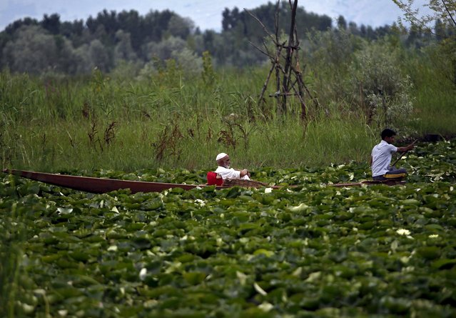 A Kashmiri man takes a ride on a boat in the waters of Dal Lake, which is covered with plants, in Srinagar August 3, 2015. (Photo by Danish Ismail/Reuters)
