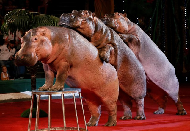 Hippopotamuses perform during a show at the circus in Krasnoyarsk, Siberia, Russia, July 7, 2016. (Photo by Ilya Naymushin/Reuters)
