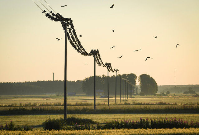 Birds sit on power lines above the fields in Kauhava, Finland, 30 July 2017. (Photo by Kimmo Brandt/EPA)