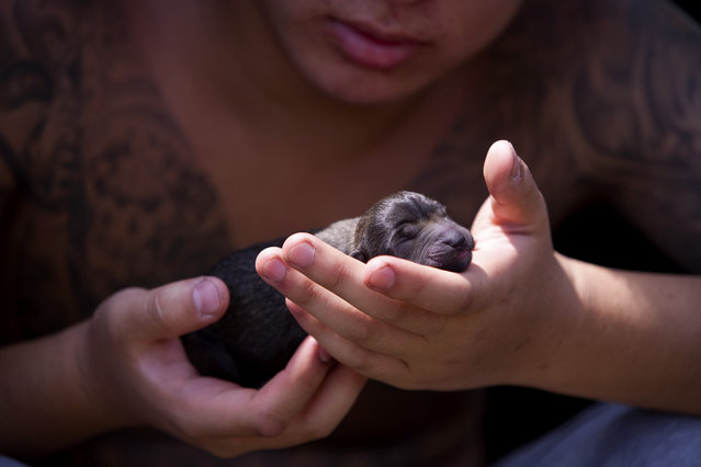 A volunteer holds a newborn rescue puppy on Tuesday, August 12, 2014, in suburban Beijing, China. Animal activists intercepted a truck that was transporting hundreds of dogs to be slaughtered and sold for meat. With the help of activists and groups, including Humane Society International, the dogs are now receiving post rescue care. (Photo by AP Images for Humane Society International)