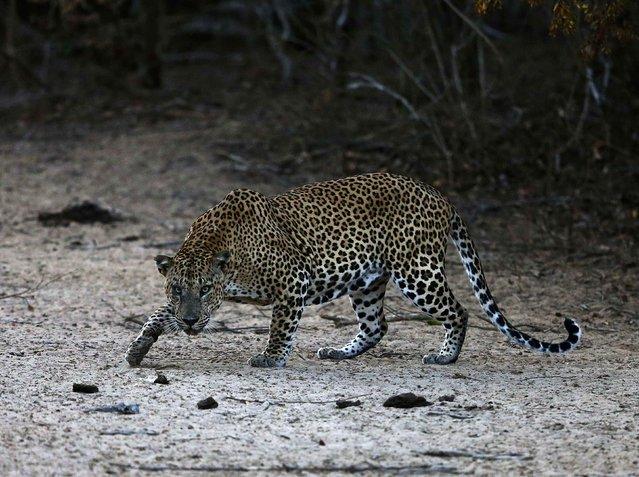 A leopard walks at Yala National Park in southern Sri Lanka August 24, 2014. (Photo by Dinuka Liyanawatte/Reuters)