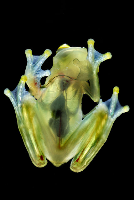 Fleischmanns glass frog. (Photo by Thomas Marent/Caters News)