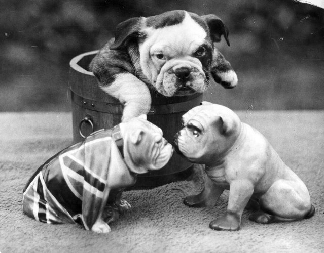A bulldog puppy contemplates two china bulldogs from the safety of a wooden tub, circa 1930. (Photo by Express/Express)
