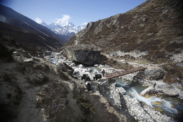 A yak herder leads yaks near Pheriche, approximately 14107 feet above sea level, in Solukhumbu District May 3, 2014. (Photo by Navesh Chitrakar/Reuters)