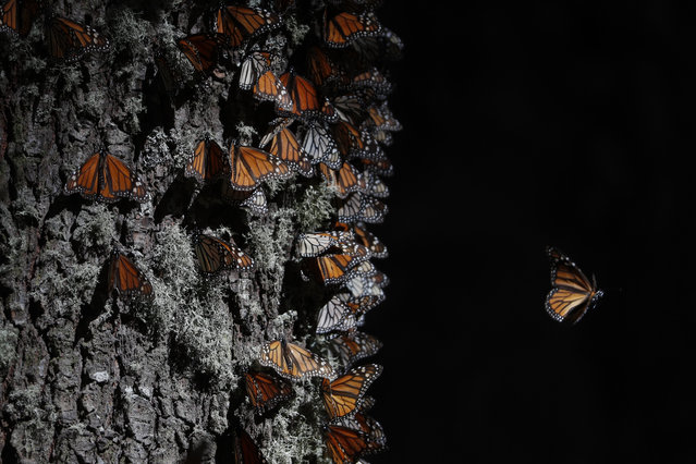 A monarch butterfly takes off from a tree trunk in the winter nesting grounds of El Rosario Sanctuary, near Ocampo, Michoacan state, Mexico, Friday, January 31, 2020. Hundreds of farmers and agricultural workers attended the funeral of Homero Gomez Gonzalez on Friday, and the homage to the anti-logging activist was like a tribute to the monarch butterfly he so staunchly defended. (Photo by Rebecca Blackwell/AP Photo)