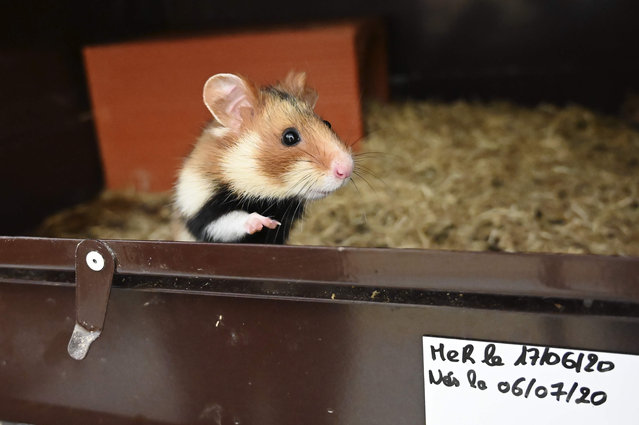 A picture taken on July 23, 2020 in Jungholtz, eastern France, in a breeding center dedicated to the reintroduction of the specimen, shows a Great Hamster of Alsace. The Great Hamster of Alsace is an endangered specie because of corn culture and urbanism and the environmental NGO Union internationale pour la conservation de la nature (UICN) fears its disappearance within thirty years, AFP reports on July 25, 2020. (Photo by Frederick Florin/AFP Photo)