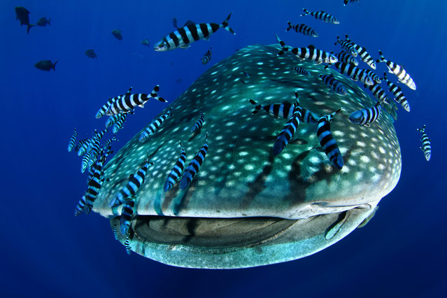 A whale shark accompanied by pilot fish and remora in the Azores on September 8, 2016. Humanity is driving an unprecedented extinction of marine life, with the biggest species being pushed to the brink, scientists have said. (Photo by Nuno Sa/NPL/Alamy Stock Photo)