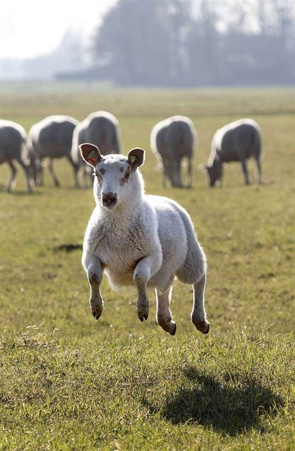 A happy lamb jumps in a field near Berkel en Rodenrijs, the Netherlands, on March 4, 2013. Due to the nice spring weather the sheep were released from their barn earlier than usual. (Photo by Arie Kievit/EPA)