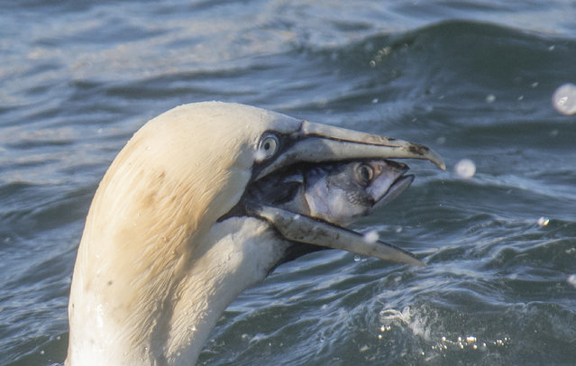 Gannet finding fishing difficult pictured by Chrys Mellor near Bempton for the Comedy Wildlife Photo Awards 2016, East Yorkshire, England, August, 2016. (Photo by Chrys Mellor/Barcroft Images/Comedy Wildlife Photography Awards 2016)