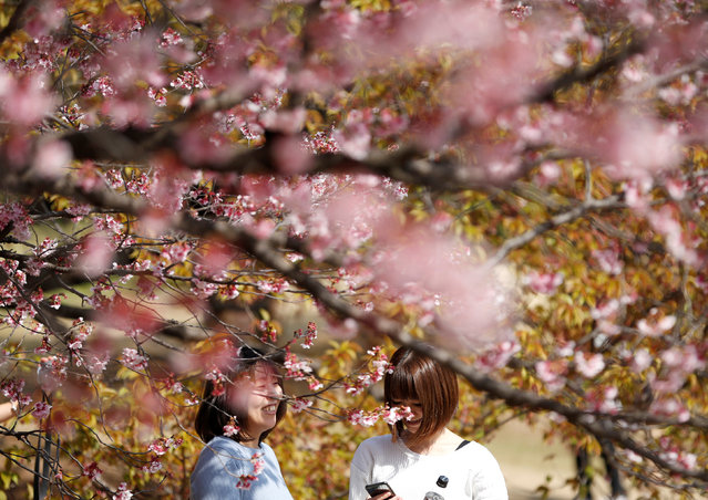Visitors look at early flowering Kanzakura cherry blossoms in full bloom at the Shinjuku Gyoen National Garden in Tokyo, Japan March 14, 2018. (Photo by Issei Kato/Reuters)