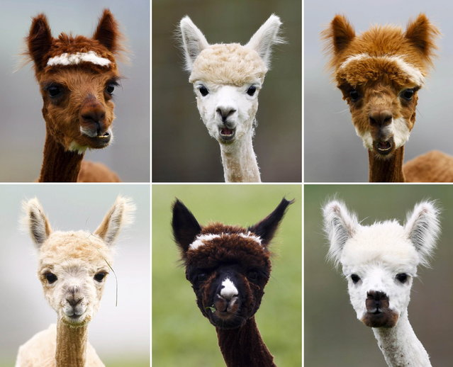 A combination of six pictures shows freshly shorn alpacas in the village of Winklarn near Regensburg, April 22, 2013. The alpacas are always shorn in spring, to make the animals more comfortable for the summer months and to collect the expensive and well known alpaca wool. (Photo by Michaela Rehle/Reuters)