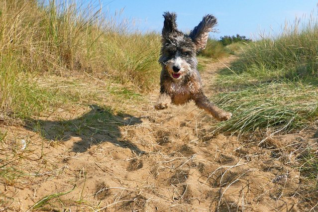 Cookie the cockapoo enjoying a run on the beach in Heacham, Norfolk, England on August 8, 2020. (Photo by Paul Marriott/The Times)