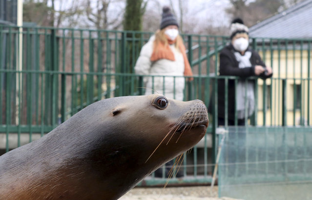Visitors with a masks observes a seal in an enclosure at the Schoenbrunn Zoo in Vienna, Austria, Monday, February 8, 2021. Visitors can visit the zoo again after 97 days lock down. The Austrian government has moved to restrict freedom of movement for people, in an effort to slow the onset of the COVID-19 coronavirus. (Photo by Ronald Zak/AP Photo)