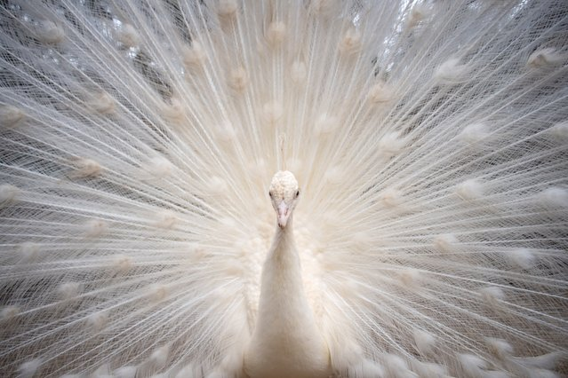 A white peacock is pictured at the Animal Rescue Center Zoo de Castellar, in Castellar de la Frontera, southern Spain, on February 20, 2021. The Animal Rescue Center which has opened to the public after a 7 months closure due to coronavirus restrictions, relays on food donations to feed the animals. 60% of the animals at the zoo were rescued from seizures by the Spanish Civil Guard and customs services against animal traffickers and circuses. (Photo by Jorge Guerrero/AFP Photo)
