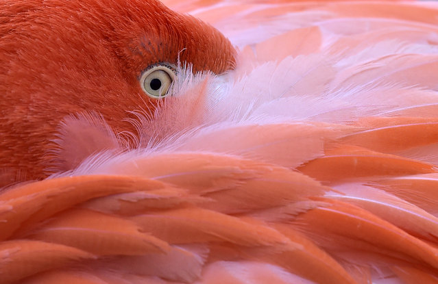 A flamingo hides its head in its feathers on a cold Friday, January 23, 2015 at the zoo in Cologne, Germany. (Photo by Martin Meissner/AP Photo)
