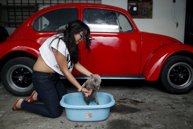 Rocky, a seven-month-old mini pig, is bathed by his owner in a garage, in Mexico City, December 23, 2015. (Photo by Edgard Garrido/Reuters)