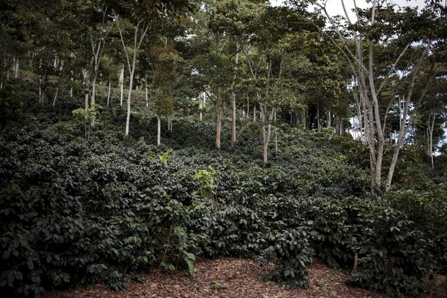 General view of a coffee plantation at the Nogales farm in Jinotega, Nicaragua January 7, 2016. (Photo by Oswaldo Rivas/Reuters)