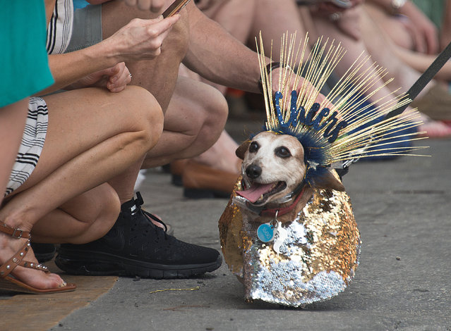 A dachshund strolls past spectators during the annual Key West Dachshund Walk on New Year's Eve in Key West, Florida, U.S. December 31, 2018. (Photo by Andy Newman/Florida Keys News Bureau/Handout via Reuters)