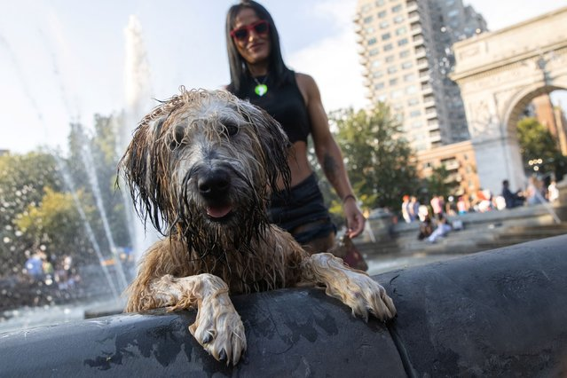 A dog named Beeba cools off in a fountain in Washington Square Park as a heat wave hits the region, in Manhattan, New York City, U.S., August 12, 2021. (Photo by Jeenah Moon/Reuters)