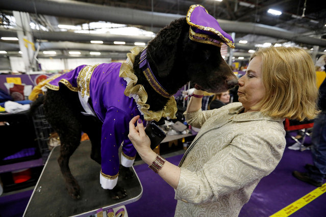 Lodi, a Curly Coated Retriever from New Jersey, stands in a costume with his owner/handler Natalie Donnelly at the 143rd Westminster Kennel Club Dog Show in New York City, New York, U.S., February 12, 2019. (Photo by Mike Segar/Reuters)