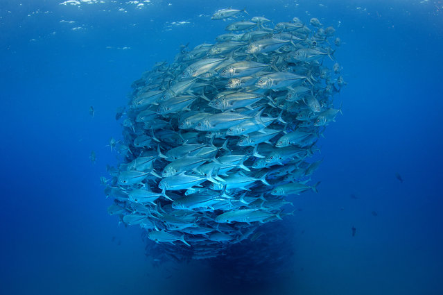 The fish gather together to make a huge ball of fish